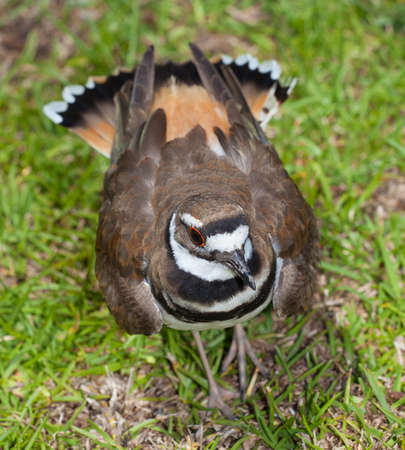 Wild bird that is puffing up its feather to scare things away from its nest Banco de Imagens - 61612216