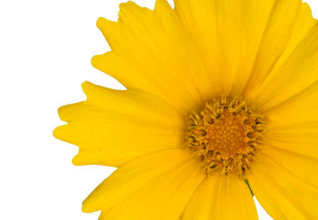 Bright yellow flower that is on a white background stock photo bright yellow flower that is on a white background stock photo 61612221 mightylinksfo