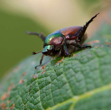 feelers: Japanese beetle with its feelers out on a grape leaf