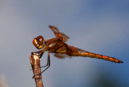 Orange and brown dragonfly on a stick with sky behind