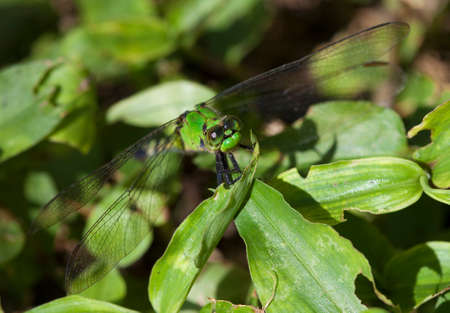 Bright green dragonfly that is hard to see on some leaves