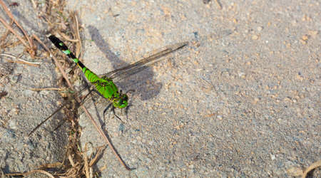 antenna dragonfly: Green dragonfly waiting for a bug to eat on bricks