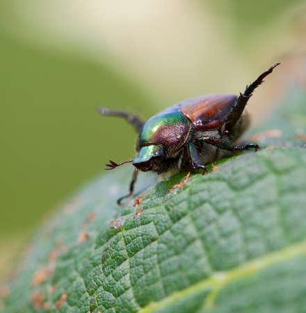 feelers: Japanese beetle with its feelers working on a grape leaf