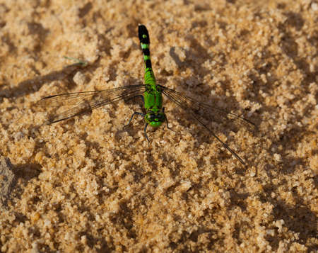 antenna dragonfly: Dragonfly that is waiting for a bug to eat on the sand