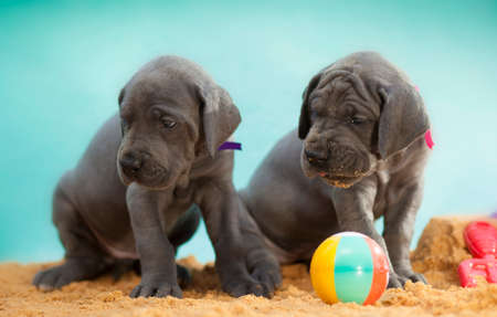 apparently: Two Great Dane puppies on sand apparently guarding a ball Stock Photo