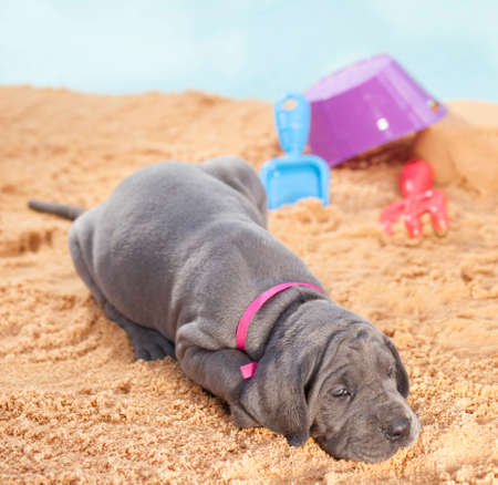 dane: Purebred Great Dane puppy on the sand ready to go to sleep