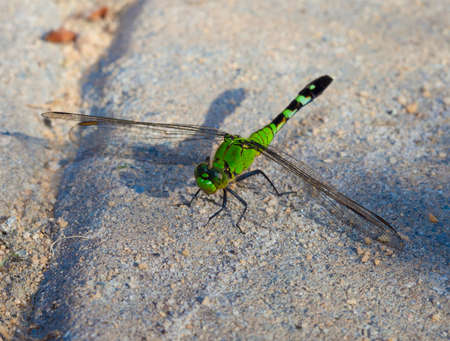 antenna dragonfly: Green dragonfly that has landed on some sand set bricks Stock Photo