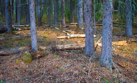 sneaking: First light sneaking into a forest in Saskatchewan Canada Stock Photo
