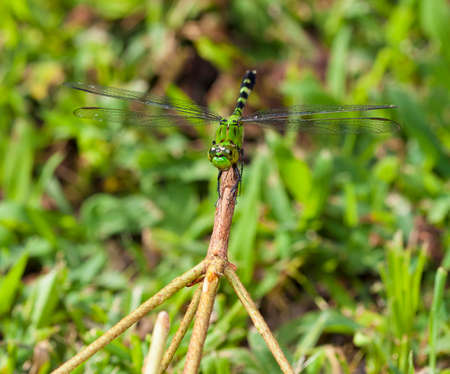 Green dragonfly on a stick with grass that is behind