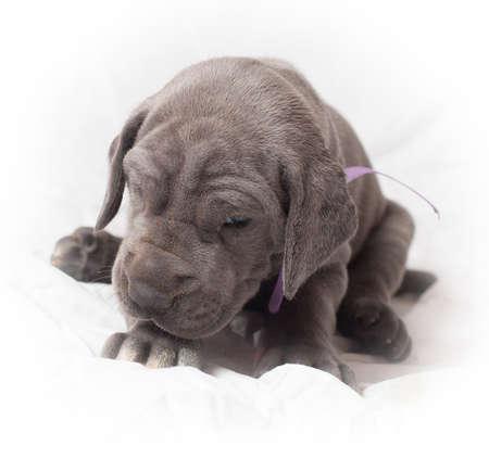 woken: Purebred Great Dane puppy that looks mad being woken up