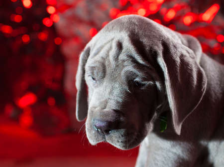 Great Dane purebred blue puppy with holiday looking background