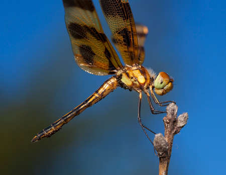 brown  eyed: Green and brown eyed dragonfly that is dropping its eggs Stock Photo