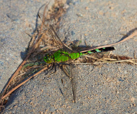 antenna dragonfly: Green dragonfly that is waiting on sand set bricks for a bug to eat Stock Photo