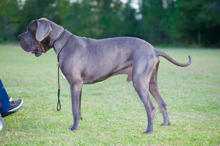 Purebred Great Dane male next to its owners wheelchair Stock Photo