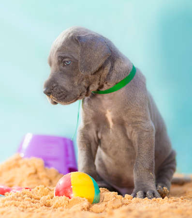 Grey Great Dane puppy purebred near a ball on the sand