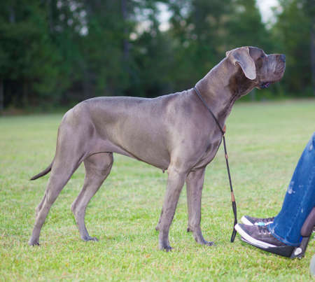 Great Dane purebred looking affectionately at its owner in a wheelchair