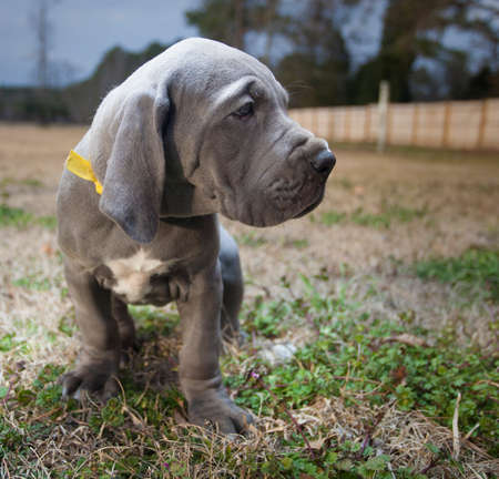 Great Dane puppy purebred with gray coat standing on a fall field