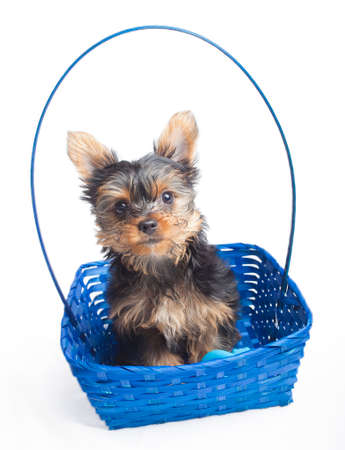 Yorkshire terrier puppy in a blue basket on white Stock Photo