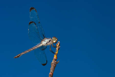 Green eyed dragonfly on a stick with sky behind