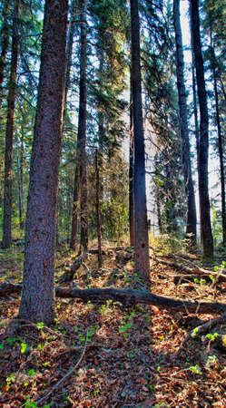 Tall trees in the daytime near Dore Lake in Saskatchewan Stock Photo