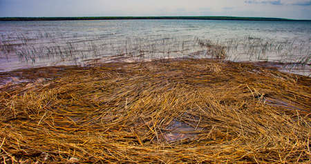 Dead reeds that are collected on the shore of Dore Lake in Saskatchewan Stock Photo