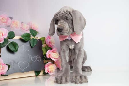 愛を言う看板の前で純血種偉大なデーン子犬 写真素材