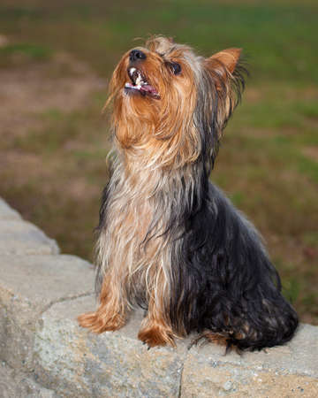 Purebred Yorkshire terrier sitting obediently on bricks wating for a treat