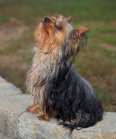 Purebred Yorkshire terrier sitting patiently on some bricks Stock Photo