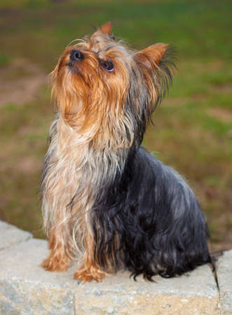 Young Yorkie sitting on bricks waiting for a command Stock Photo