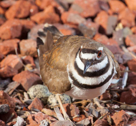 Killdeer on some rocks closely guarding its eggs and nest
