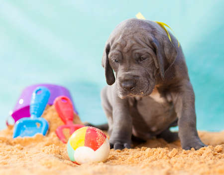 Gray Great Dane purebred puppy looking sad on the sand