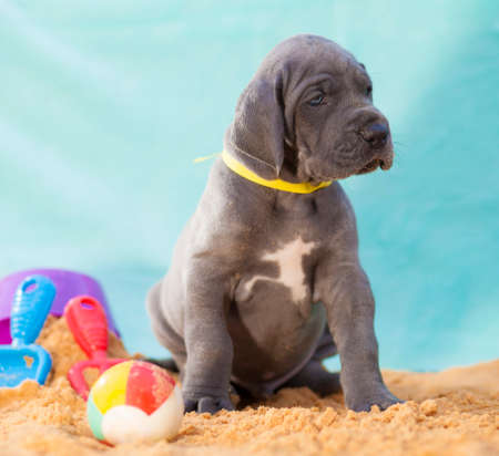 Gray Great Dane puppy on the sand with toys