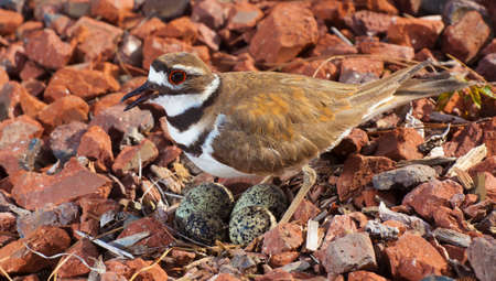 Nest and eggs from a killdeer being closely guarded by the bird Stock Photo