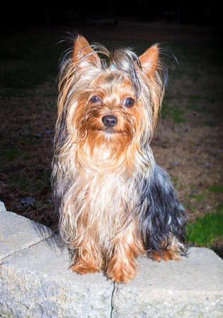 Purebred Yorkshire terrier after a bad hair day sitting on some bricks Stock Photo