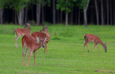 Four whitetail deer on a green field in North Carolina