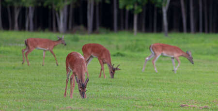 Whitetail deer herd spread out looking for food on a field