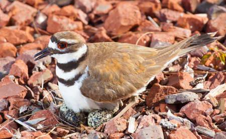 Wild killdeer standing over its eggs on a rocky nest