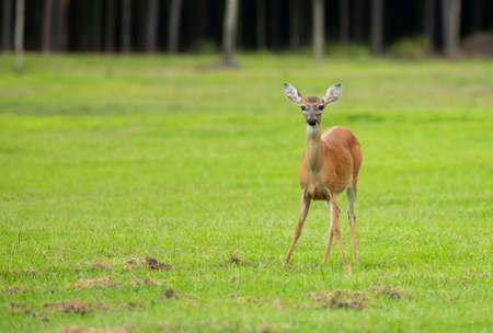 Whitetail deer doe alone on a field in North Carolina