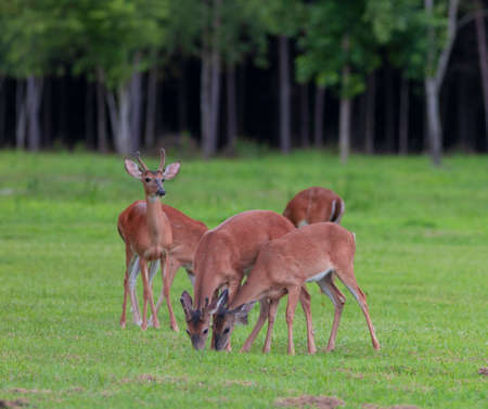 Eating whitetail deer herd on a green field