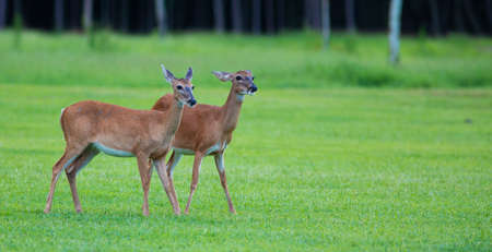 Two female whitetail deer on a green field in North Carolina Stock Photo