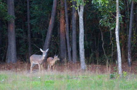 Whitetail doe with its young offspring near a treeline