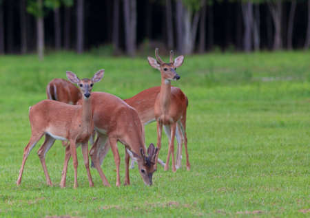 Herd of whitetail deer grazing on a grassy field Stock Photo