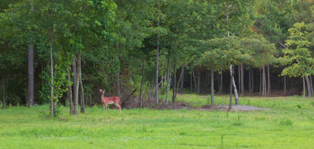 Young whitetal deer buck with antlers in velvet near a treeline Stock Photo