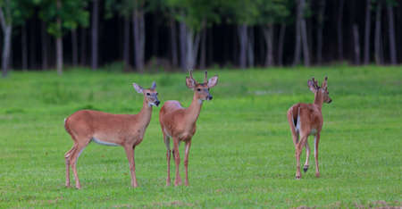 Three whitetail deer on a grassy field in North Carolina Stock Photo
