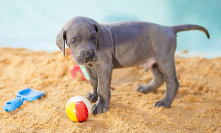 Purebred Great Dane puppy warning someone away from its ball Stock Photo