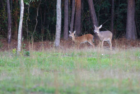 Whitetail doe with its offspring in North Carolina near a forest Stock Photo