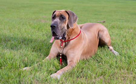 Purebred brown Great Dane ready to play on the grass