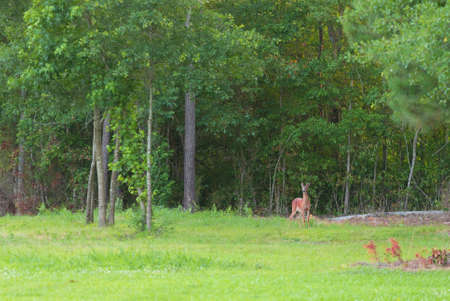 Young whitetail buck starting to grow antlers near a forest line