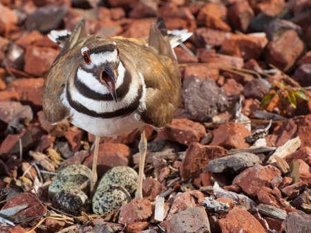 Killdeer on its nest with eggs warning the photography away 版權商用圖片