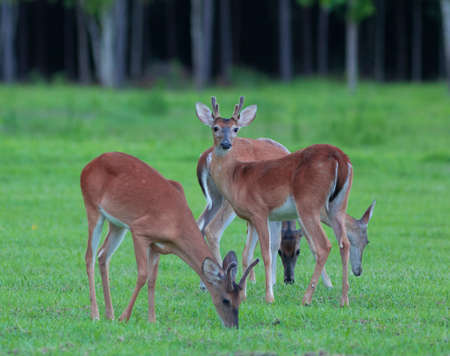 Whitetail deer herd with a buck keeping watch while others eat